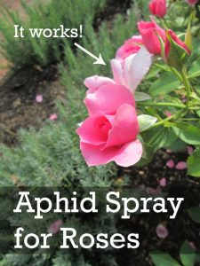 aphid spray for roses