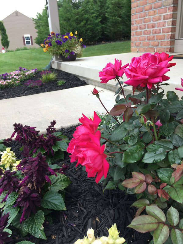 roses and bedding plants for small garden