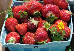 strawberry picking lancaster county pa