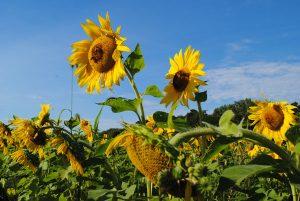 sunflower field chicago