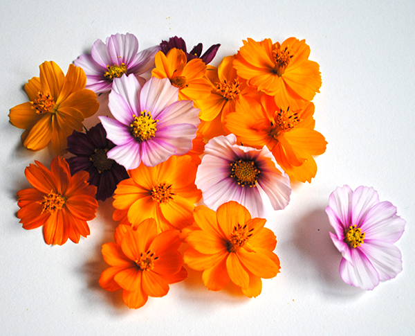 pressed cosmos flowers